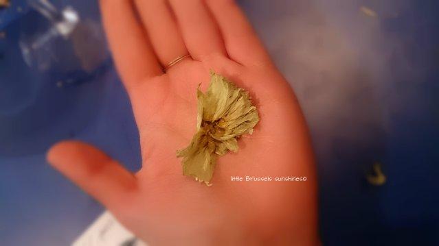 How an hop looks like - Je vous présente un houblon